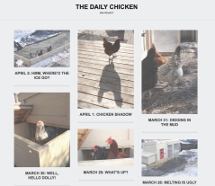 The Daily Chicken